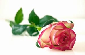 rose-301406_1920